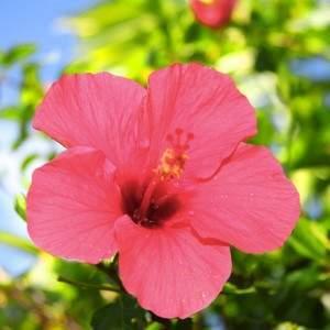 AlohaBeachVacations_hibicus